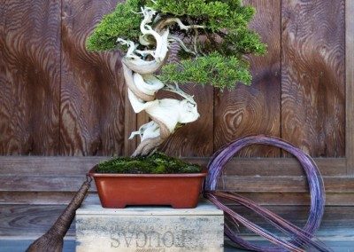Juniperus Thurifera After