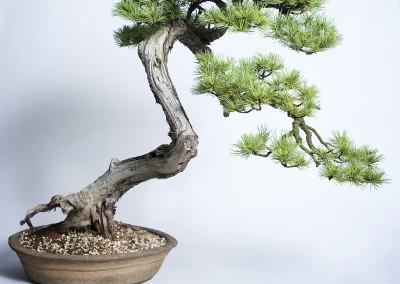 Goyomatsu (Pinus Parviflora) After