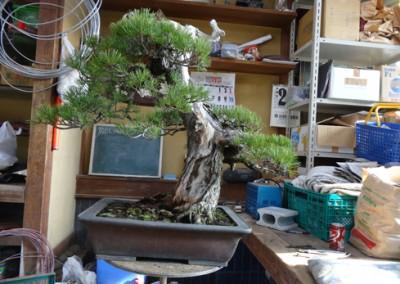 Goyomatsu (Pinus Parviflora) Before