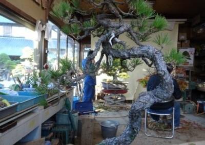 Akamatsu (Pinus Densiflora) Before