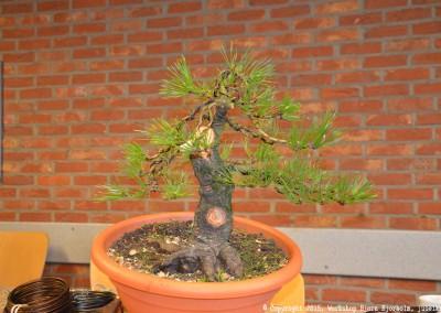 Yama-bonsai_Bjorn_058