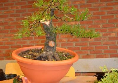 Yama-bonsai_Bjorn_060