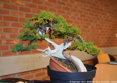 Yama-bonsai_Bjorn_065