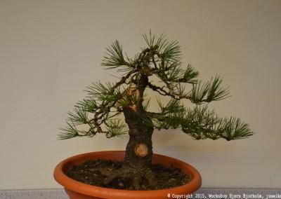 Yama-bonsai_Bjorn_068