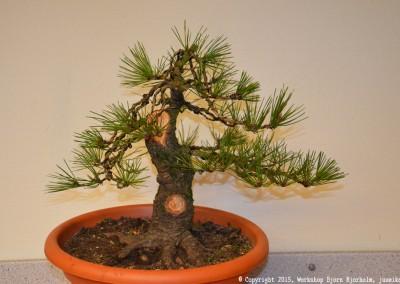 Yama-bonsai_Bjorn_069