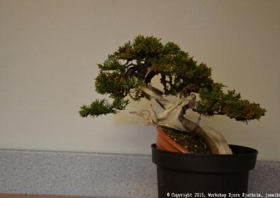 Yama-bonsai_Bjorn_081