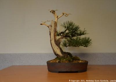 Yama-bonsai_Bjorn_087