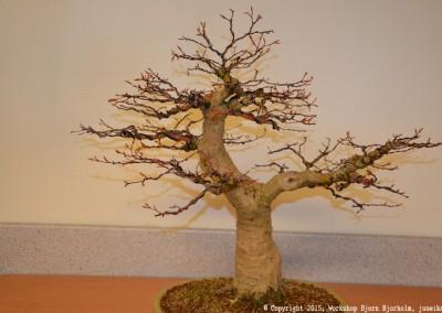 Yama-bonsai_Bjorn_091