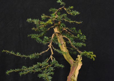 Yama-bonsai_Will_011
