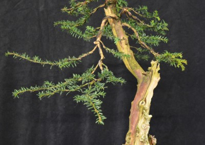 Yama-bonsai_Will_012