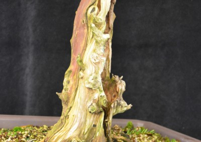 Yama-bonsai_Will_014