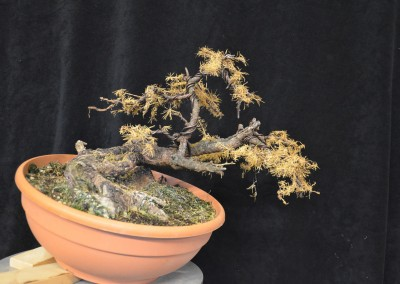 Yama-bonsai_Will_026