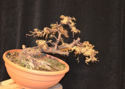 Yama-bonsai_Will_027