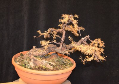 Yama-bonsai_Will_028