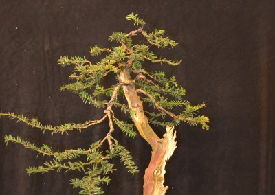 Yama-bonsai_Will_047