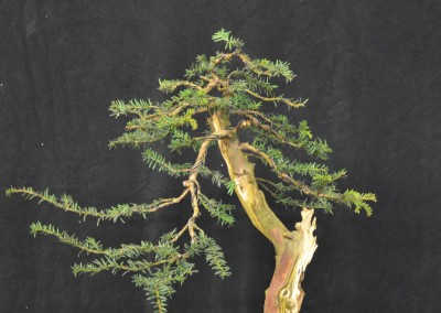 Yama-bonsai_Will_051