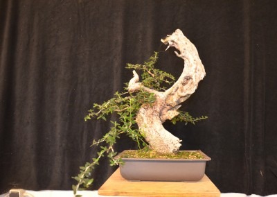 Yama-bonsai_Will_057