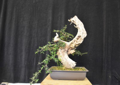 Yama-bonsai_Will_058