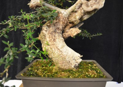 Yama-bonsai_Will_059