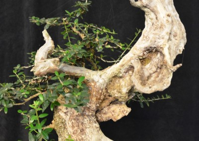 Yama-bonsai_Will_060