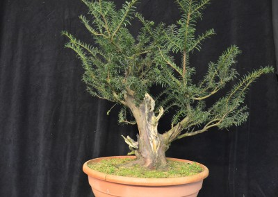 Yama-bonsai_Will_061