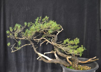 Yama-bonsai_Will_065
