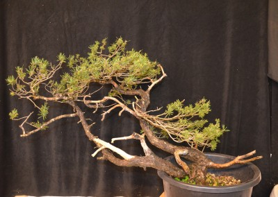 Yama-bonsai_Will_066