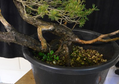 Yama-bonsai_Will_067