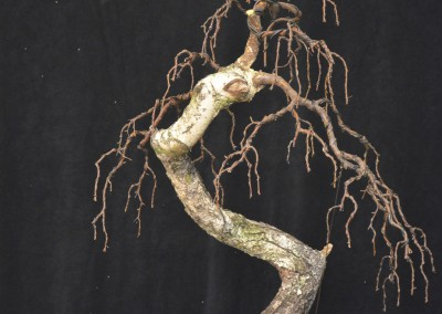 Yama-bonsai_Will_120