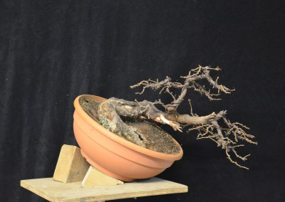 Yama-bonsai_Will_126