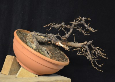 Yama-bonsai_Will_127