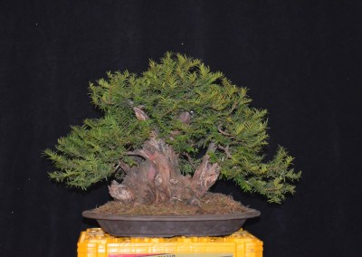Yama-bonsai_Will_138