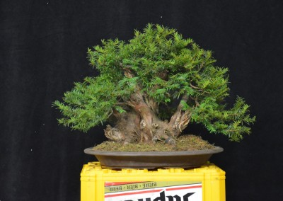 Yama-bonsai_Will_139