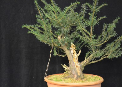Yama-bonsai_Will_149
