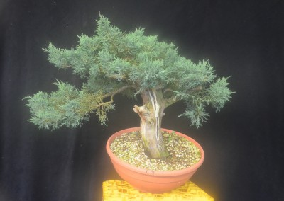 Yama-bonsai_Will_170