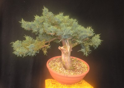 Yama-bonsai_Will_171