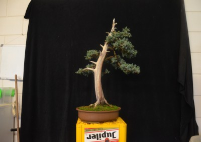 Yama-bonsai_Will_177