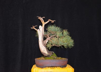 Yama-bonsai_Will_182