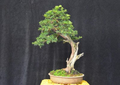Yama-bonsai_Will_184