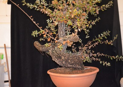 Yama-bonsai_Will_190