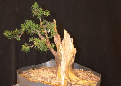 Yama-bonsai_Will_226