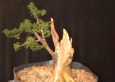 Yama-bonsai_Will_227