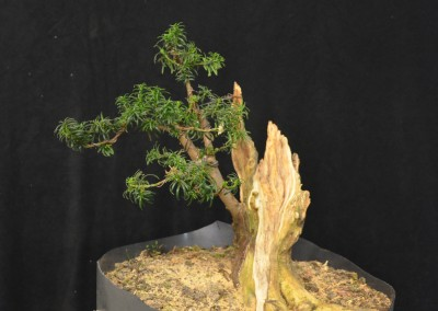 Yama-bonsai_Will_228