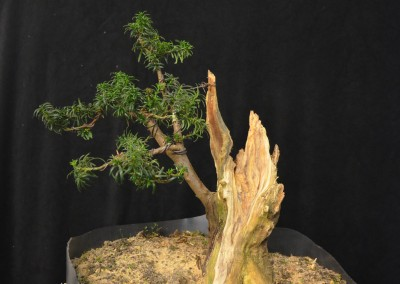 Yama-bonsai_Will_229