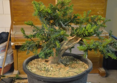 Yama-bonsai_Will_234