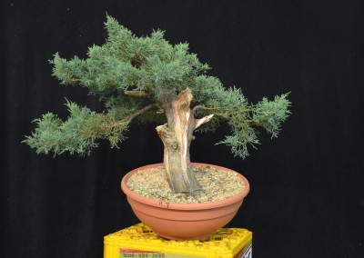 Yama-bonsai_Will_239