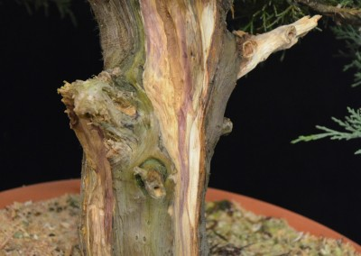 Yama-bonsai_Will_240