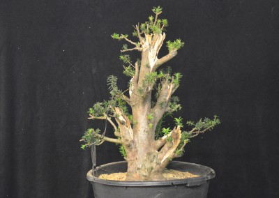 Yama-bonsai_Will_244