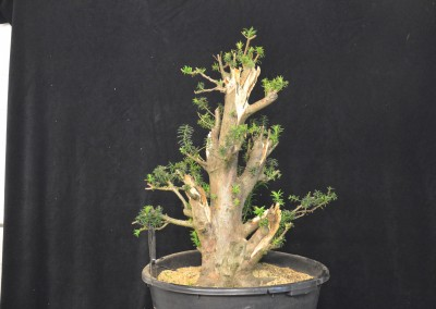 Yama-bonsai_Will_245