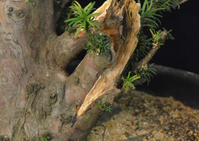 Yama-bonsai_Will_248